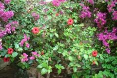 hibiscus / bougainvilleas